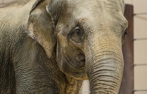Close-up of Asian elephant Maharani's face.