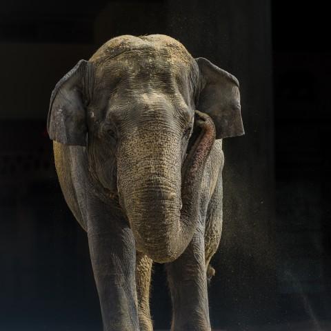 Asian elephant Shanthi at the Elephant Community Center.