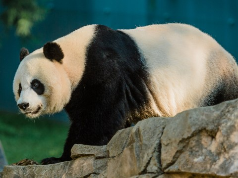 Giant panda Mei Xiang walking in the grass. There is a large rock to the right in the foreground.
