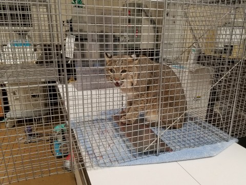Ollie Bobcat