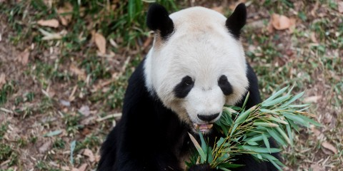 Tian Tian Eating Bamboo