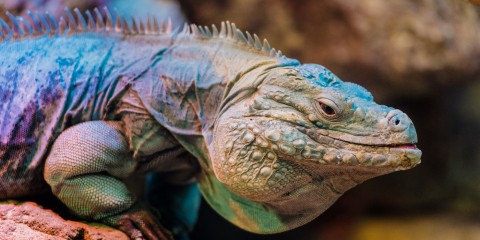 Grand Cayman Blue Iguana