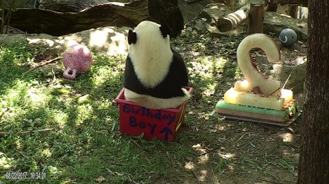 Bei Bei sitting in a birthday-themed enrichment box.