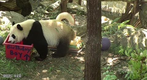 Bei Bei with his birthday-themed enrichment box.