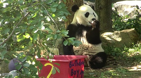 Bei Bei Celebrates His Second Birthday at the Smithsonians National
