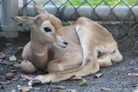 Dama gazelle calf born Aug. 30, 2017.