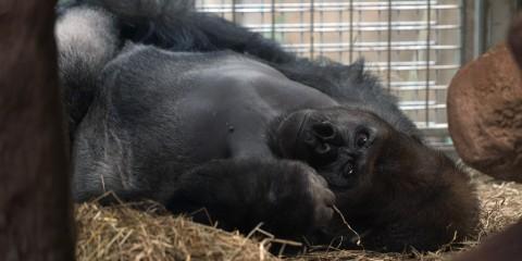 Western Lowland Gorilla Baraka