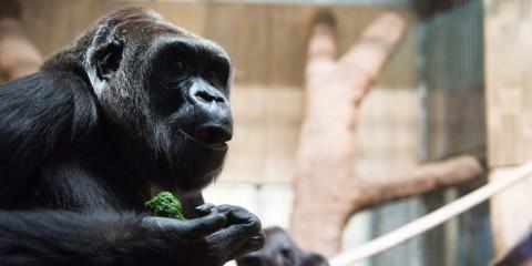 Western lowland gorilla Calaya eating her vegetable diet.