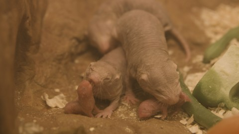 Naked mole-rat pups