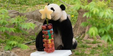 Giant panda Bei Bei with a rainbow ice cake.