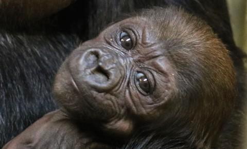 One month old western lowland gorilla Moke.