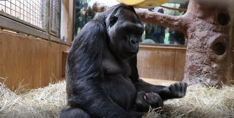 Calaya cradles 7-week-old Moke in the Great Ape House.