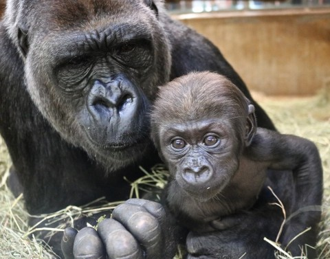 Western lowland gorilla Calaya and her 9-week-old son, Moke.