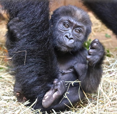 15-week-old gorilla Moke shows his foot to the camera.