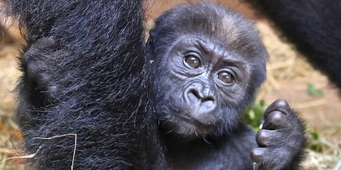 Western lowland gorilla infant Moke is 15 months old