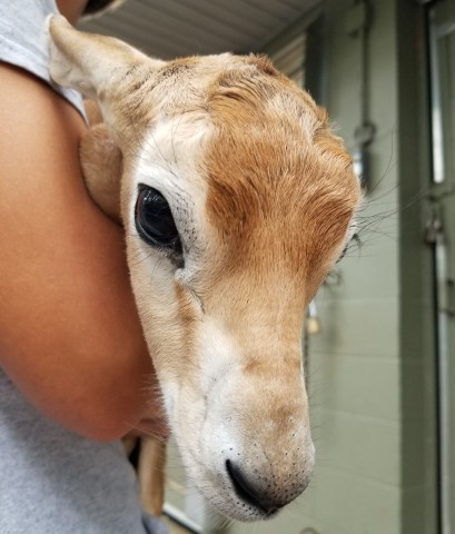 Dama gazelle calf