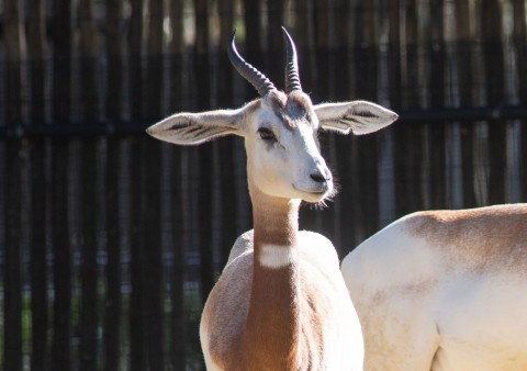 A young dama gazelle with short horns, long ears that stick out and a slender body