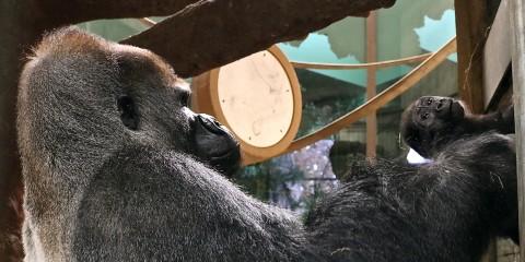 Gorillas Baraka and 7-month-old Moke.