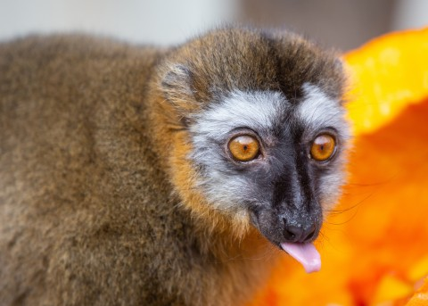 Red-fronted Lemur Flare at the Smithsonian's National Zoo's Lemur Island habitat.