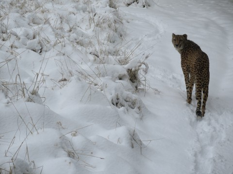A cheetah walking through the snow at the Smithsonian's National Zoo