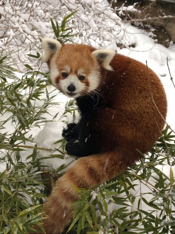 A red panda in the snow with bamboo