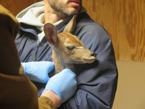 A kudu calf being held by a zookeeper while a veterinarian examines it