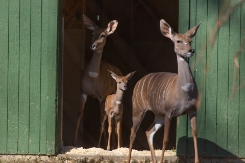 Lesser kudu Shirley (right) with her grandson, Kushukuru (middle), and daughter, Rogue (left).
