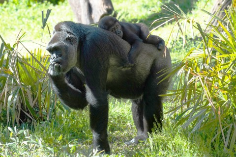 Gorillas Calaya and Moke at the Great Ape House outdoor yard.