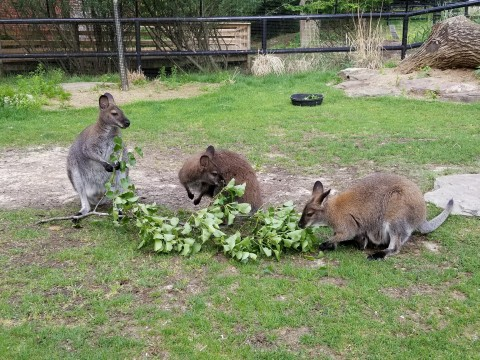 Three Bennett's wallabies eating leaves from a branch placed in their yard.