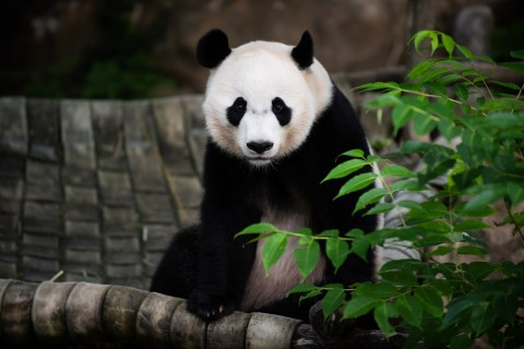 Giant panda Bei Bei sits on a hammock in his outdoor enclosure.