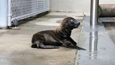 A sea lion pup born June 23, 2019, at the Smithsonian's National Zoo rests on its belly behind the scenes at American Trail. It has dark fur, short flippers and a floppy tail