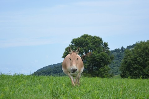 A female Persian onager, a tan colored wild ass, walking in a hilly field.