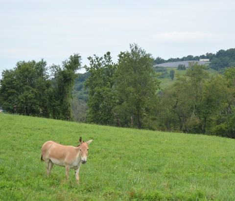 A female Persian onager, a light tan wild Asiatic ass, standing in a large grassy pasture.