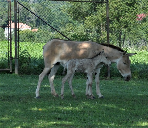 A Persian onager mare and her foal.
