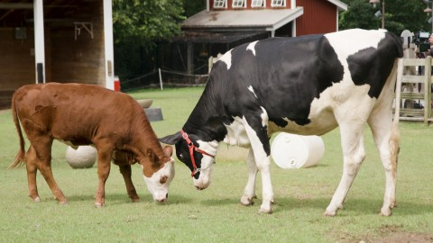 Hereford calf Willow (right) and Holstein calf Magnolia (left) graze at the Kids' Farm.