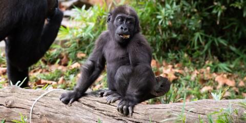 Western lowland gorilla infant Moke in his outdoor habitat.
