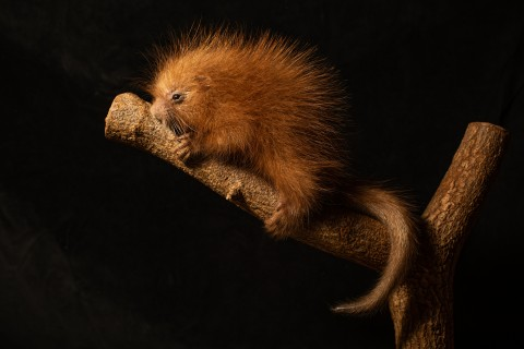 A newborn prehensile-tailed porcupette holding on to a branch.