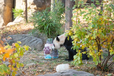 Giant panda Bei Bei sniffs an elaborate and colorful ice cake with bamboo sticking out from the top