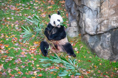 Giant panda Bei Bei munches on bamboo while sitting on grass