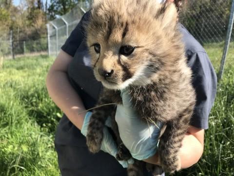 A cheetah keeper holds out a cheetah cub