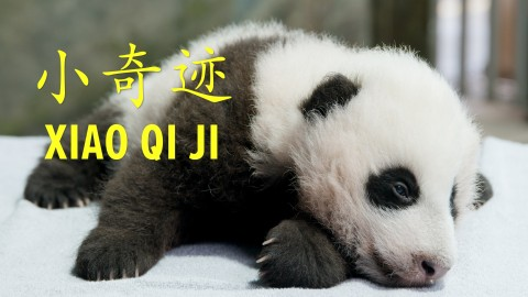 "A giant panda cub with black-and-white fur, small claws and round ears. Text on the photo reads ""Xiao Qi Ji"" (the cub's name) in English and Mandarin Chinese"