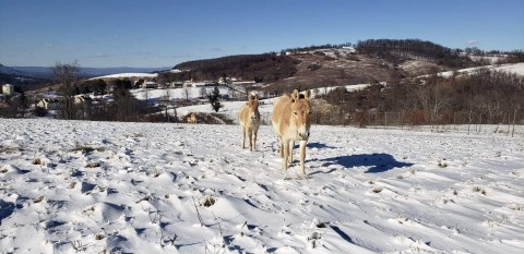 A Persian onager, a light brown equid, walking in the snow with a foal behind her.