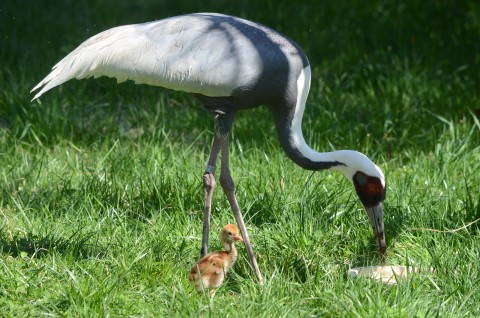 A female white-naped crane chick hatched April 2, 2020 to parents Brenda (pictured) and Eddie.