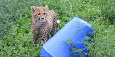 Cheetah cub next to an enrichment toy at the Smithsonian Conservation Biology Institute.
