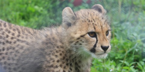 A 4-month-old cheetah cub at the Smithsonian Conservation Biology Institute.