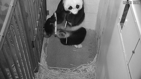 Giant panda Mei Xiang eats sugarcane in her den, with her newborn cub nearby, on the live Panda Cam feed