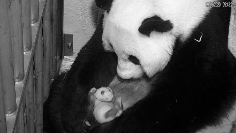 Giant panda Mei Xiang cradles her cub on Sept. 13, 2020.