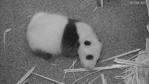 The Zoo's giant panda cub rests on the floor of its den Sept. 17, 2020.