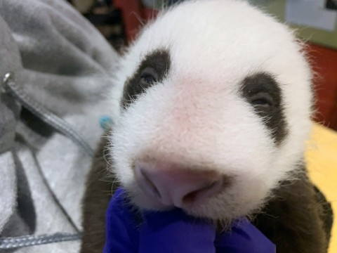 The Zoo's 6-week-old giant panda cub is just starting to open its eyes.