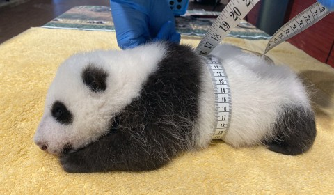 Giant panda keeper Marty Dearie measures the male giant panda cub's abdominal girth.